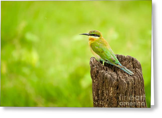 Little Green Bee-eater Greeting Card by Venura Herath