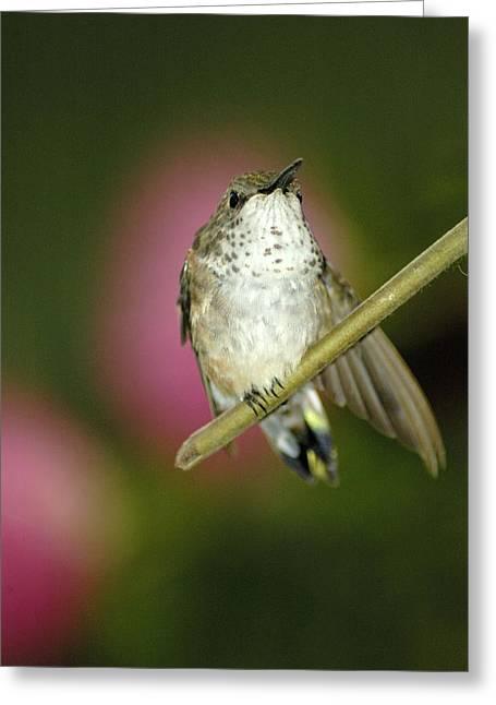 Little Humming Bird Greeting Card