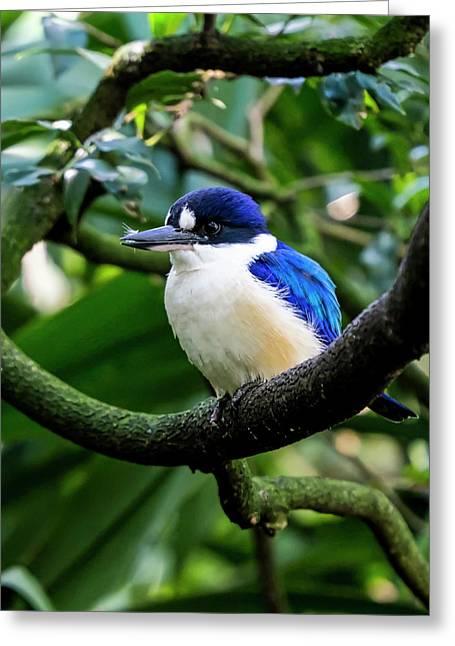 Little Kingfisher - Australia Greeting Card