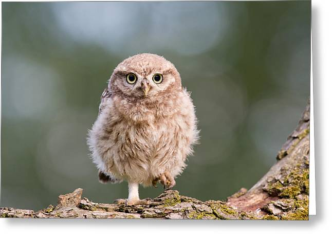 Little Owl Chick Greeting Card by Roeselien Raimond