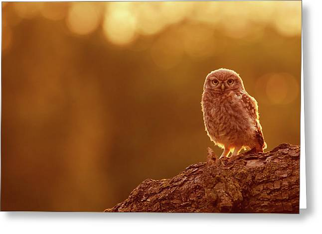 Little Owl In Red Greeting Card