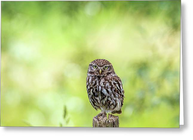 Little Owl Is Watching You Greeting Card
