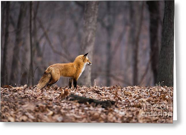 Greeting Card featuring the photograph Little Red Fox by Andrea Silies