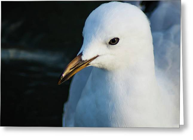 Little Seagull 1 Greeting Card