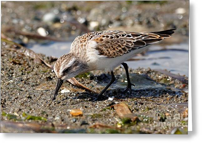 Little Western Sandpiper Greeting Card