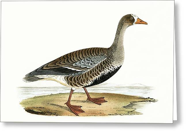 Little White Fronted Goose Greeting Card by English School