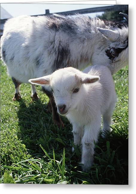 Little White Goat Greeting Card