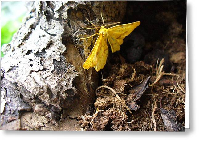Little Yellow Moth Greeting Card by Peggy King