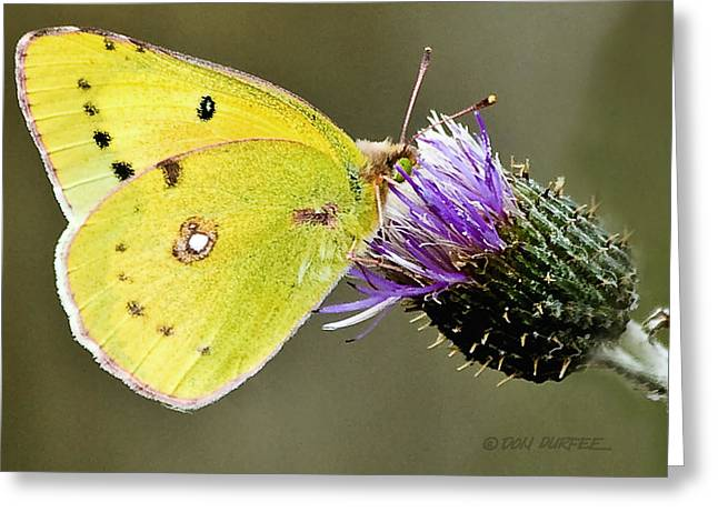 Little Yellow On Bullthistle Greeting Card by Don Durfee
