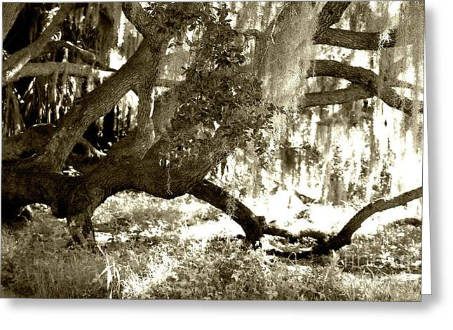 Live Oak Greeting Card by D Renee Wilson