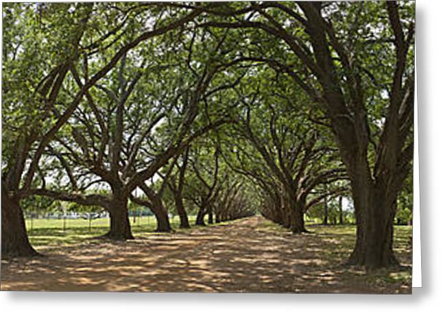 Live Oaks Panorama Greeting Card