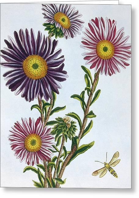 Livingstone Daisy Dorothanthus Greeting Card by Pierre-Joseph Buchoz