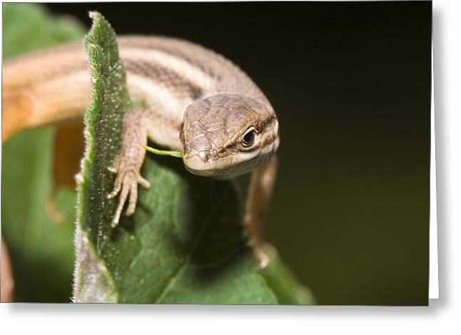 Lizard Greeting Card by Andre Goncalves
