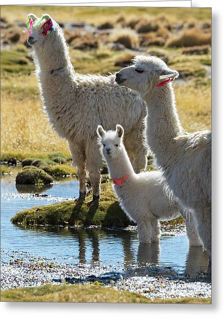 Llama Greeting Card by Christian Heeb