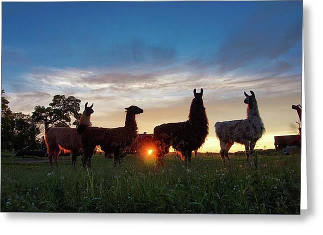 Llamas At Sunset Greeting Card