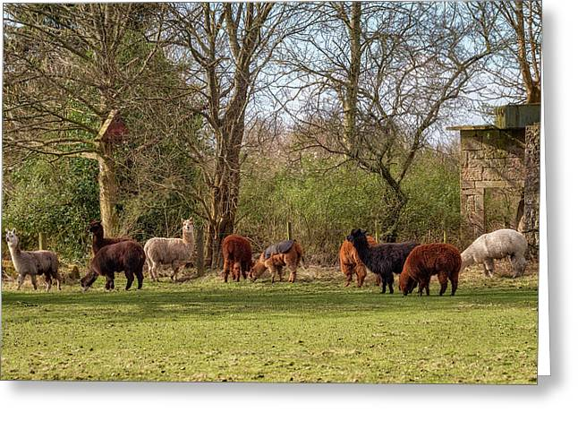 Greeting Card featuring the photograph Alpacas In Scotland by Jeremy Lavender Photography