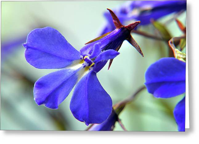 Greeting Card featuring the photograph Lobelia Erinus by Terence Davis