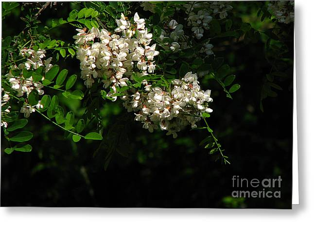Greeting Card featuring the photograph Locust Blossoms by Deborah Johnson