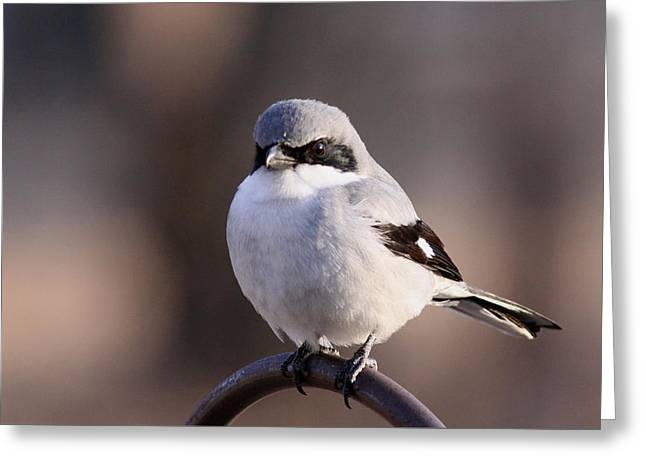 Loggerhead Shrike - Smokey Greeting Card by Travis Truelove