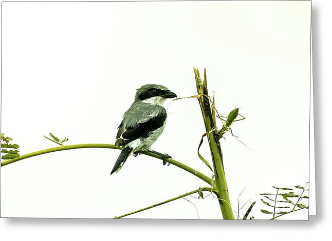 Greeting Card featuring the photograph Loggerhead Shrike And Mantis by Robert Frederick