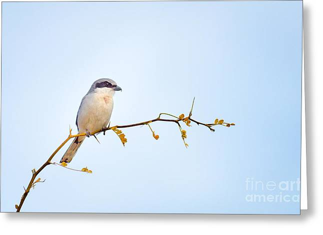 Loggerhead Shrike Greeting Card by Emily Bristor