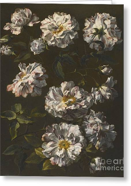 London A Study Of Striped White Gallica Roses Greeting Card