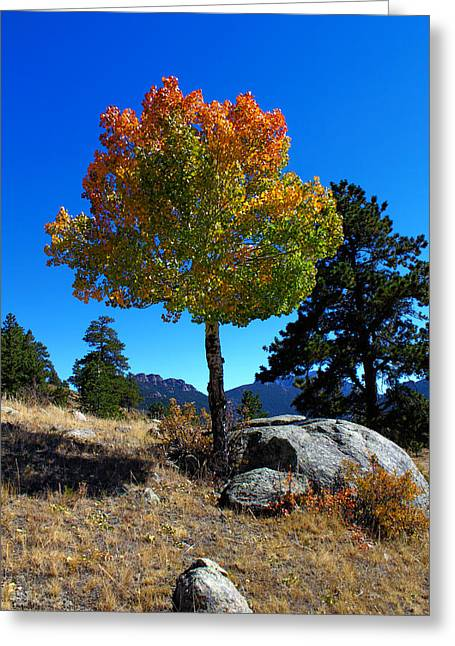 Lone Aspen Greeting Card by Shane Bechler