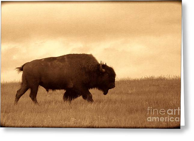 Lone Bison  Greeting Card by American West Legend By Olivier Le Queinec