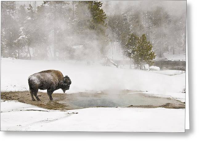 Bison Keeping Warm Greeting Card
