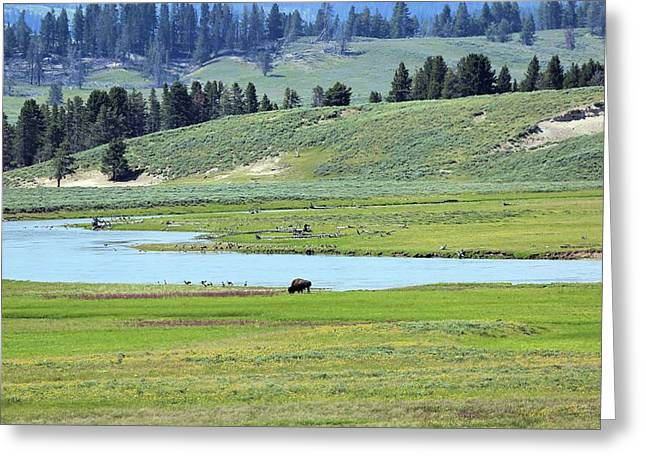 Lone Bison Out On The Prairie Greeting Card