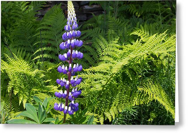 Lone Blue Lupine Greeting Card