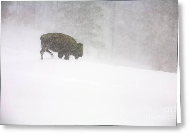 Lone Buffalo Bull In Winter Storm Greeting Card