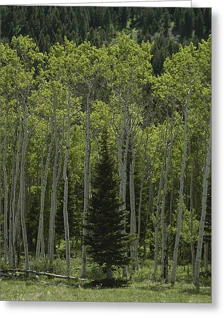 Standing Out From The Crowd Greeting Cards - Lone Evergreen Amongst Aspen Trees Greeting Card by Raymond Gehman