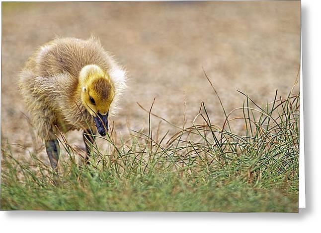 Lone Gosling Greeting Card by Sharon Talson