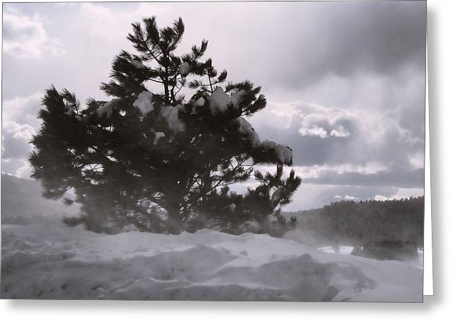 Lone Pine Greeting Card by Becky Titus
