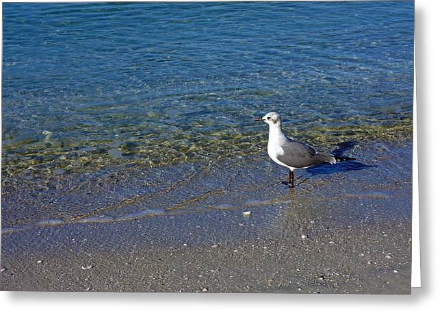Lone Seagull At Miramar Beach In Naples Greeting Card