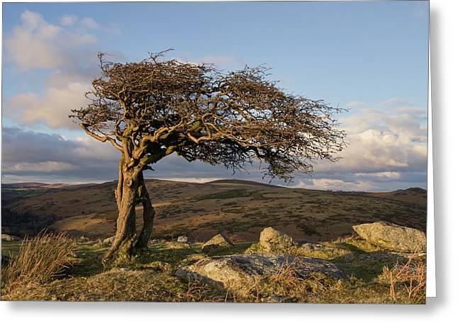 Lone Tree On Dartmoor Greeting Card by Pete Hemington