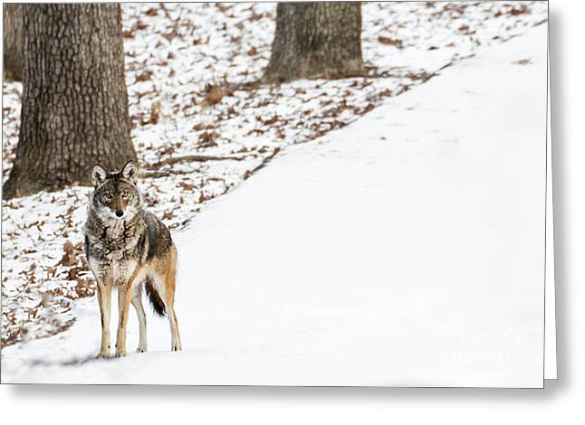 Greeting Card featuring the photograph Lone Winter Coyote by Andrea Silies