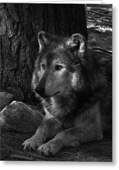 Lone Wolf Greeting Card by Karol Livote
