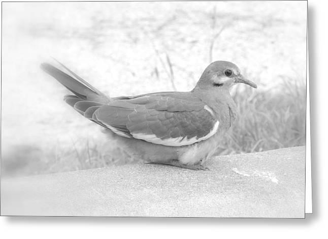 Lonely Dove Greeting Card