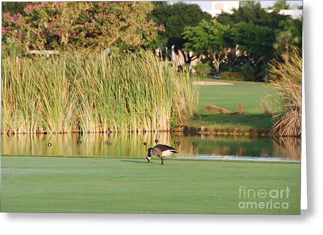 Lonely Goose On The Golf Course Greeting Card