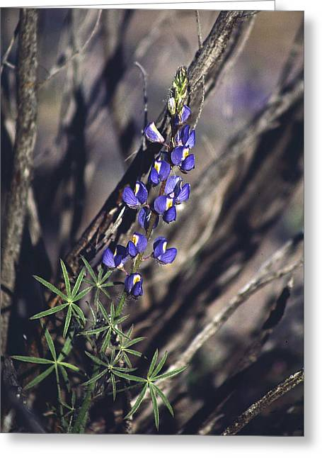 Lonely Lupine Greeting Card