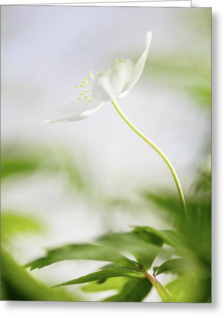 Lonely Wood Anemone - Spring Flower Greeting Card