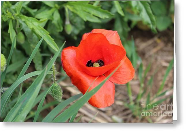 Lonesome Poppy Greeting Card