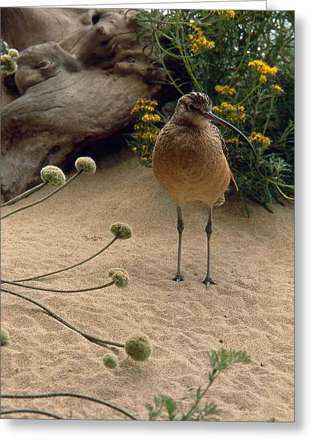 Long Billed Sandpiper Greeting Card