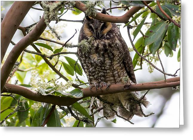 Long-eared Owl Greeting Card by David Gn