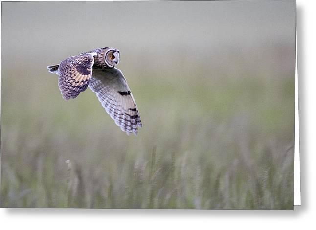 Long Eared Owl Hunting At Dusk Greeting Card
