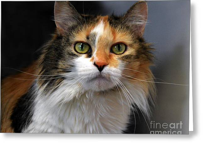 Long Haired Calico Cat Greeting Card by Catherine Sherman