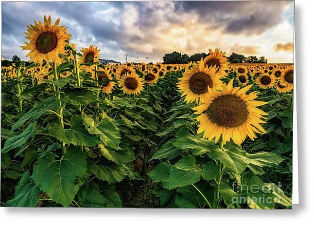 Long Island Sunflowers  Greeting Card