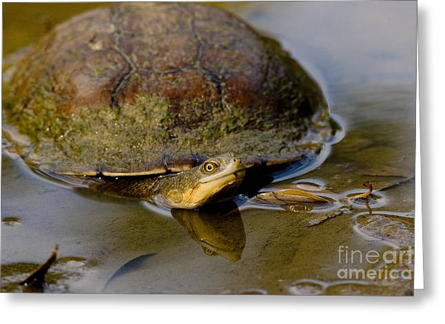 Long-necked Turtle Greeting Card by B.G. Thomson